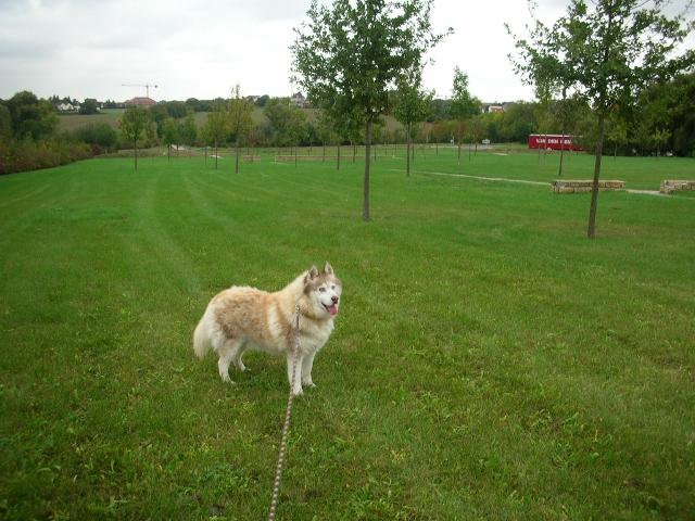 CHARLIE, superbe Husky roux, attend depuis trop longtemps: 10 ans REF51DECEDE - Page 4 Charli25