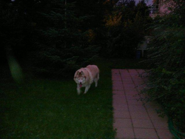 CHARLIE, superbe Husky roux, attend depuis trop longtemps: 10 ans REF51DECEDE - Page 4 Charli26