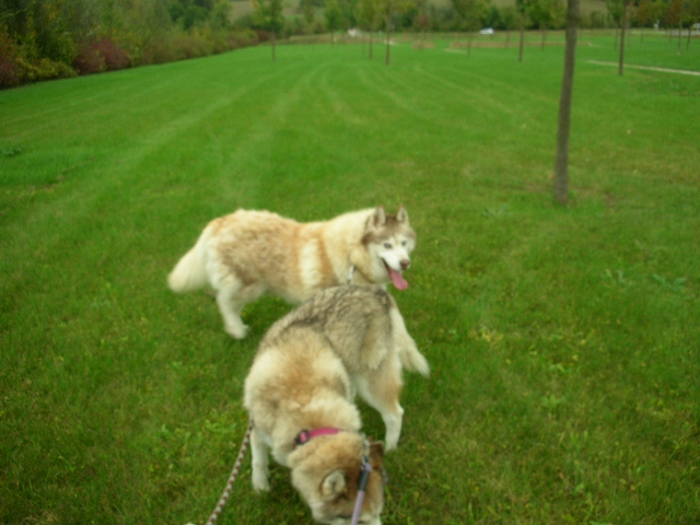 CHARLIE, superbe Husky roux, attend depuis trop longtemps: 10 ans REF51DECEDE - Page 4 Tobrou12
