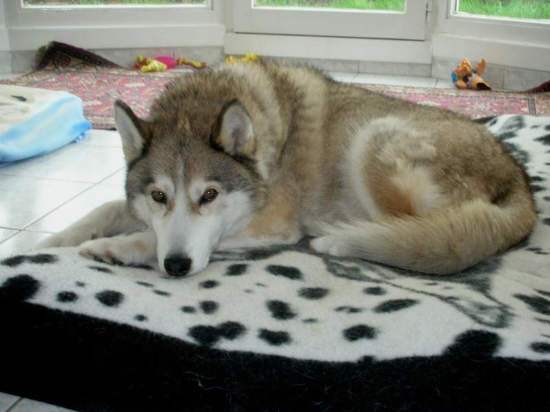 CHARLIE, superbe Husky roux, attend depuis trop longtemps: 10 ans REF51DECEDE - Page 4 Tobrou14