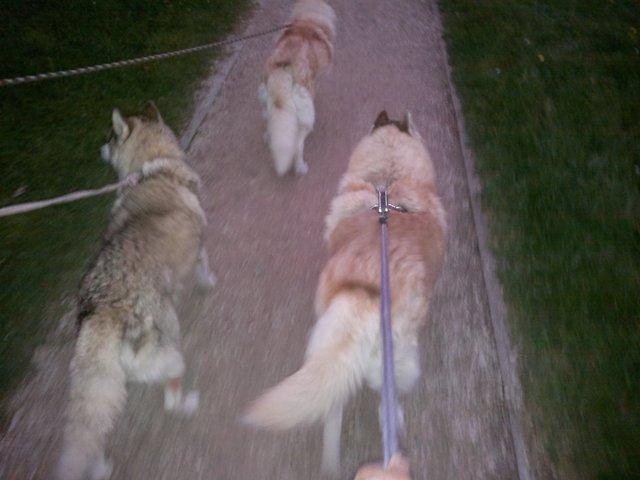 CHARLIE, superbe Husky roux, attend depuis trop longtemps: 10 ans REF51DECEDE - Page 4 Tobrou15