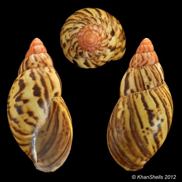 Achatina zanzibarica (Bourguignat, 1879) Achati11