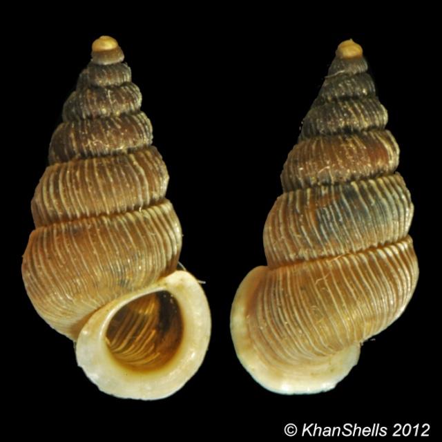 Cochlostoma bicostulatum Gofas, 1989 D23210