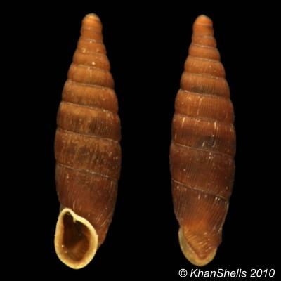 Clausilia rugosa parvula (Férussac, 1807) Gc13810