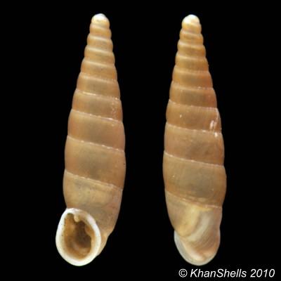 Papillifera solida (Draparnaud, 1805) Gc14310