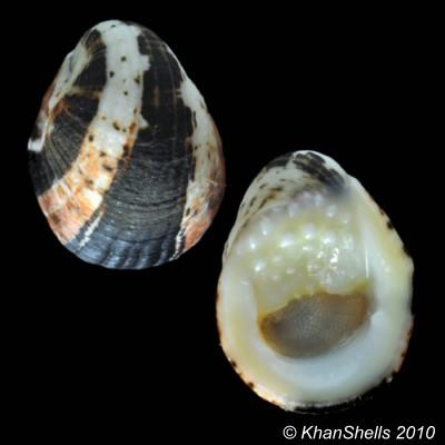 Nerita albicilla - Linnaeus, 1758 Gm74110