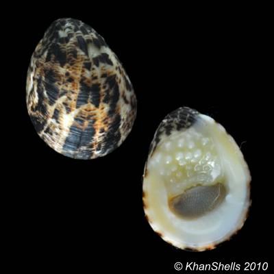 Nerita albicilla - Linnaeus, 1758 Gm74310