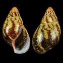 Propositions & avancées dans le forum des mollusques continentaux. - Page 3 Achati12
