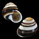 Propositions & avancées dans le forum des mollusques continentaux. Bradyb10