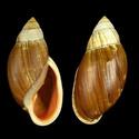 Propositions & avancées dans le forum des mollusques continentaux. - Page 3 Bulimu10