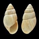 Propositions & avancées dans le forum des mollusques continentaux. Enidae10