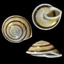 Propositions & avancées dans le forum des mollusques continentaux. Pleuro10