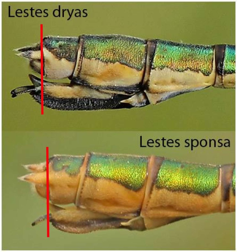Lestes sp Dryas_10