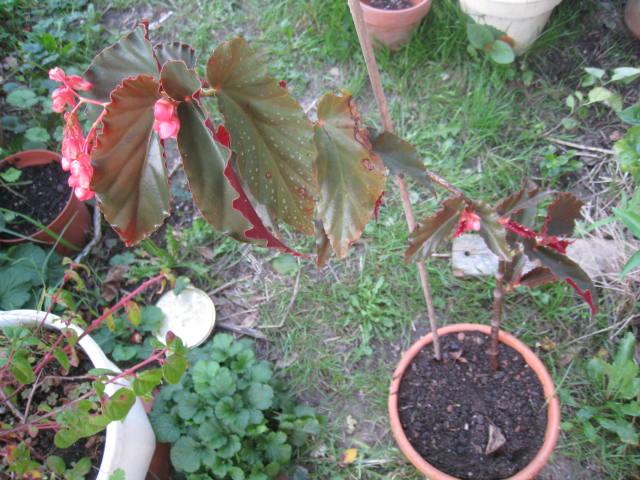 begonias Photo_43