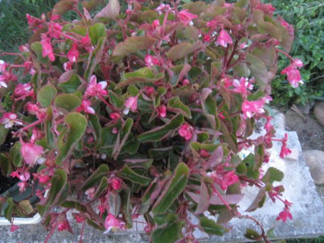 begonias Photo_46