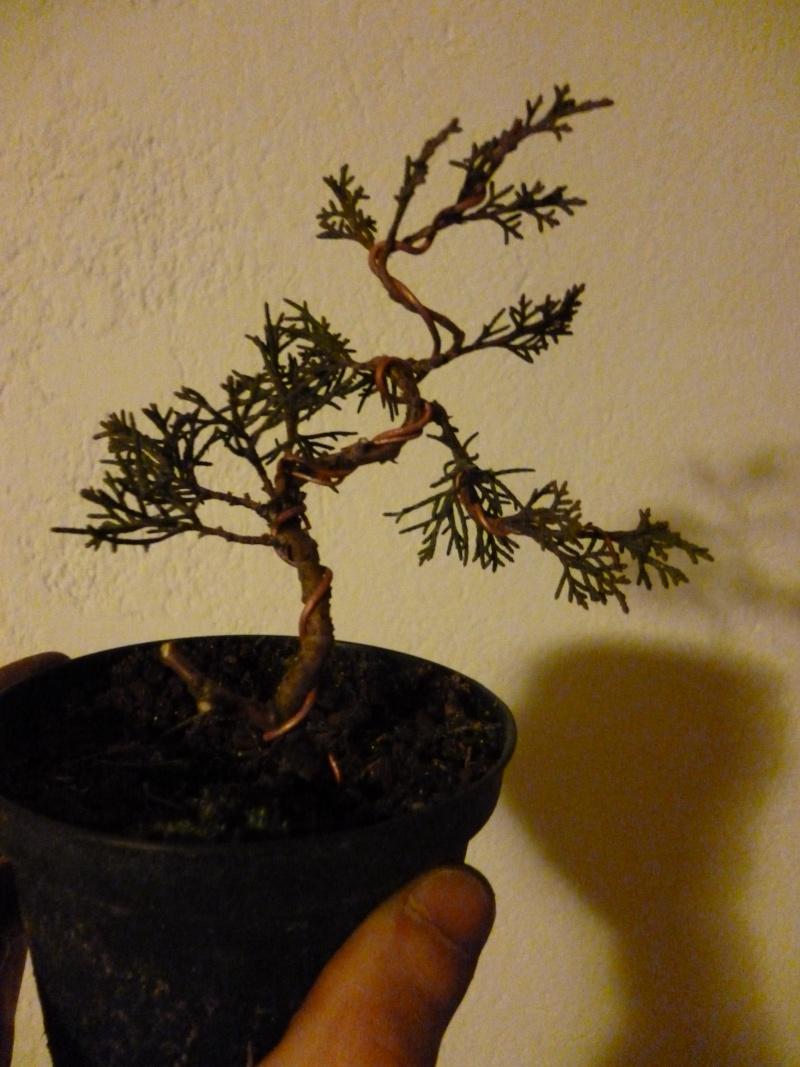 juniperus chinensis crescono P1000310