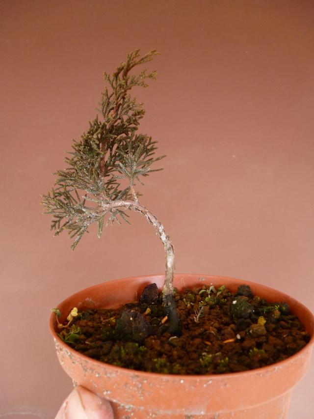 juniperus chinensis crescono P1000410