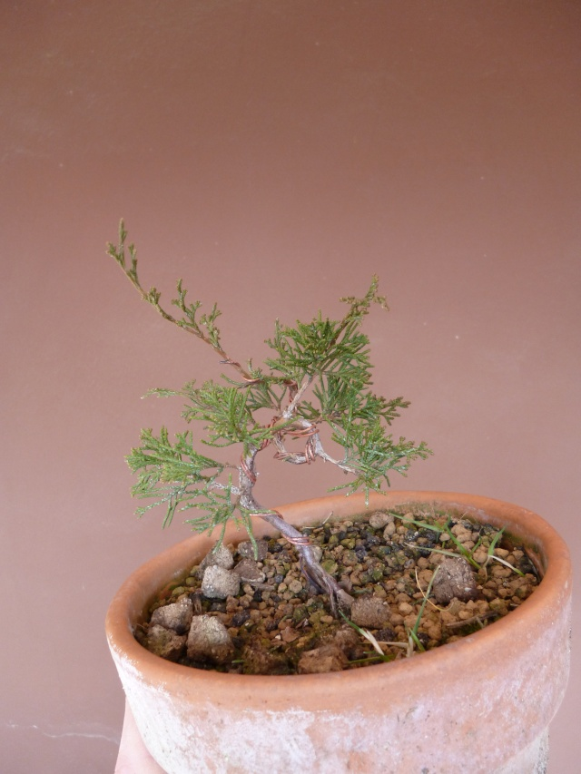 juniperus chinensis crescono P1000411
