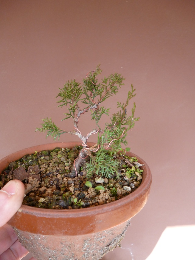 juniperus chinensis crescono P1000412
