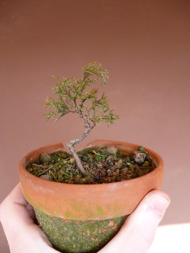 juniperus chinensis crescono P1000413