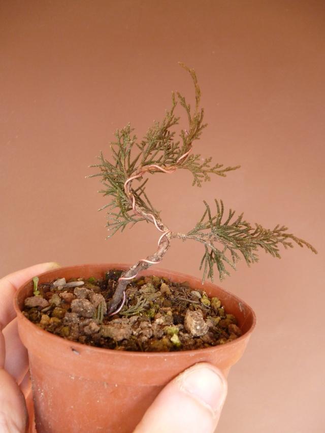 juniperus chinensis crescono P1000414