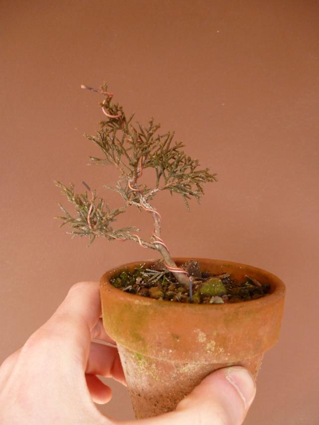 juniperus chinensis crescono P1000415