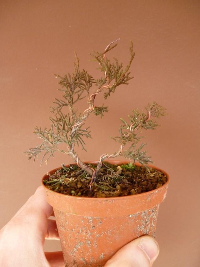 juniperus chinensis crescono P1000416