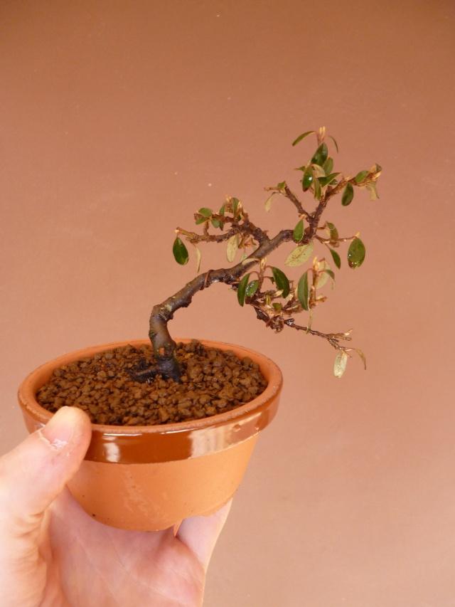 cotoneaster da talea - Pagina 2 P1000418