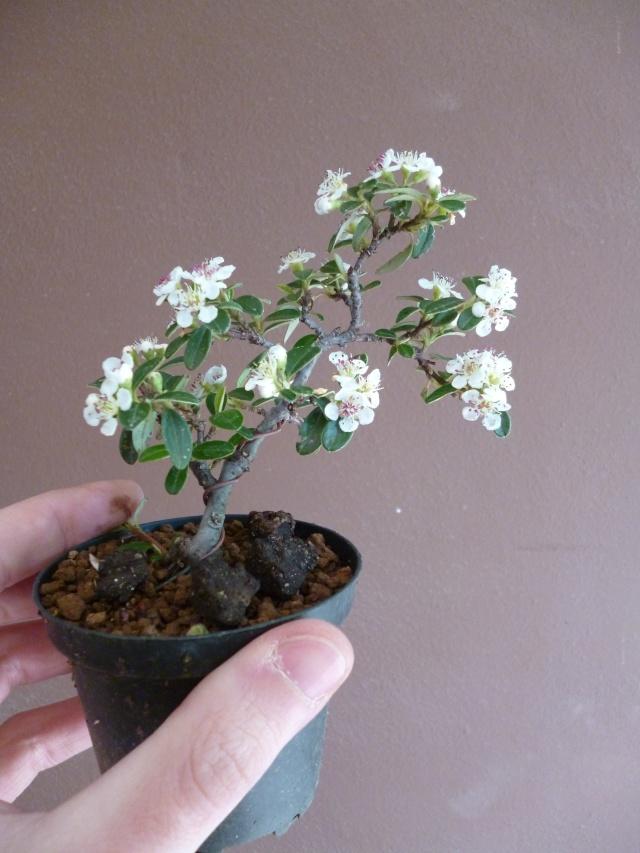 cotoneaster da talea - Pagina 2 P1000810