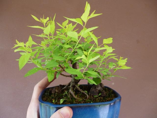 Spirea Japonica fresca fresca P1020511