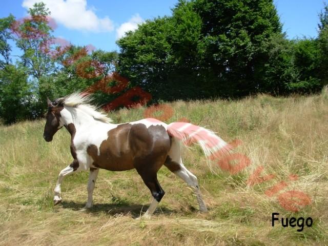 FUEGO - Hongre - placé hors association Fuego111