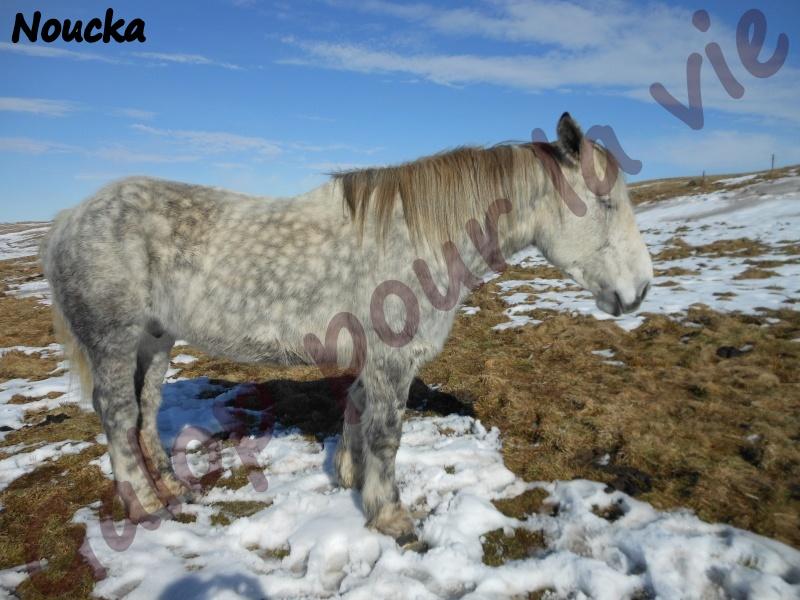 NOUCHKA - Percheron PP née en 2001 - adoptée en mars 2012 Noucka11
