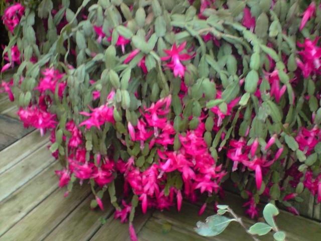sos cactus de noël Fleur112