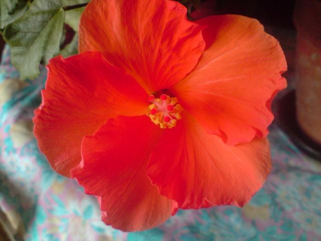 Mes Hibiscus Fleurs41