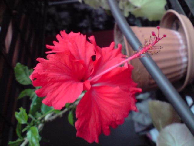 Mes Hibiscus Fleurs44