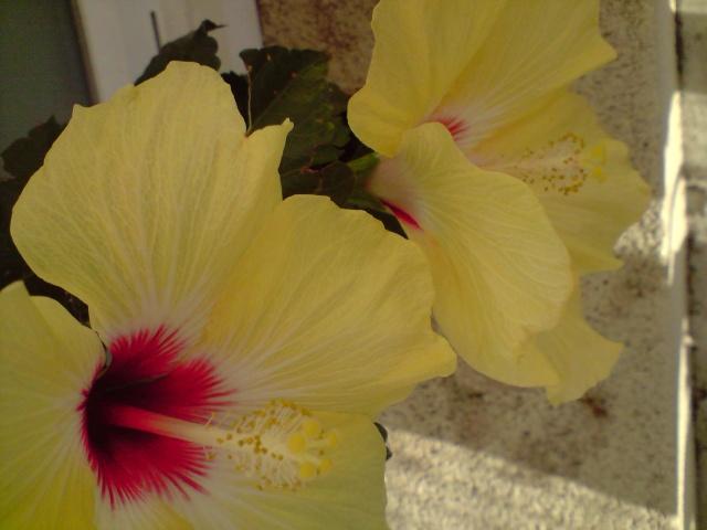 Mes Hibiscus Fleurs88