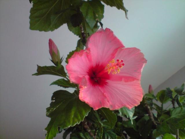 Mes Hibiscus Fleurs90