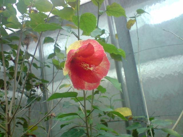 Mes Hibiscus Fleurs92
