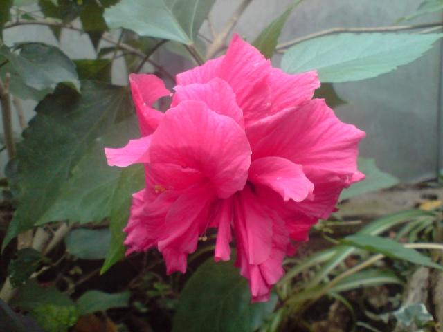 Mes Hibiscus Fleurs93