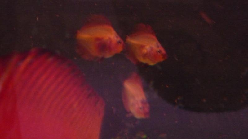 Première ponte de mon couple de discus orange - Page 3 P1040513