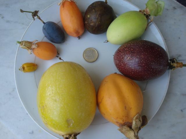 Pasiflora in Morocco 9_frui11