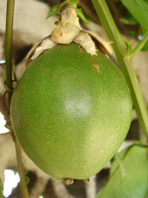 Passiflora Liguraris Anyone Alata_11