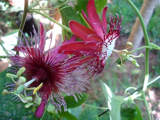 Pasiflora in Morocco Crimso10