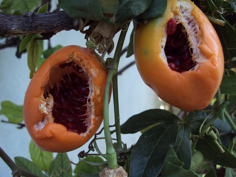 Harvest fruits assiflora Deux_c10