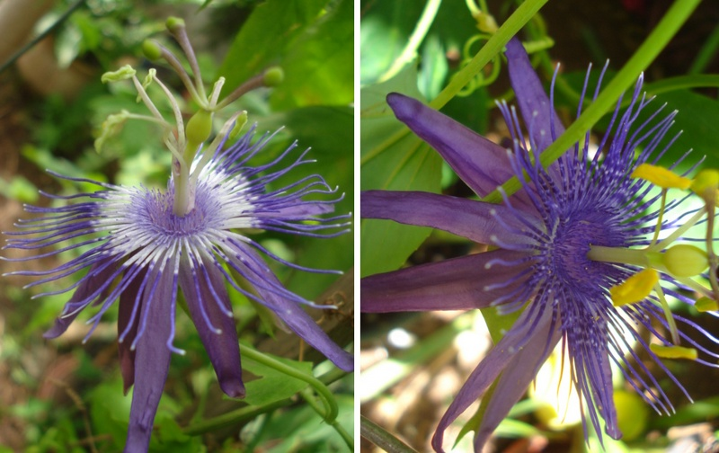 Passiflora Amethyst / Lavendar Lady Flowers are loosing colour, fading to white Deux_c11