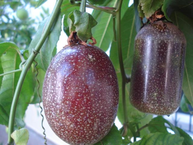 Harvest fruits assiflora Edulis15