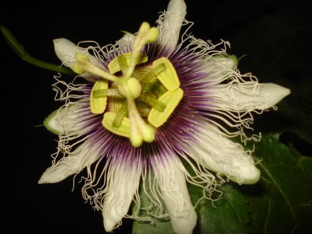 Pasiflora in Morocco Edulis17