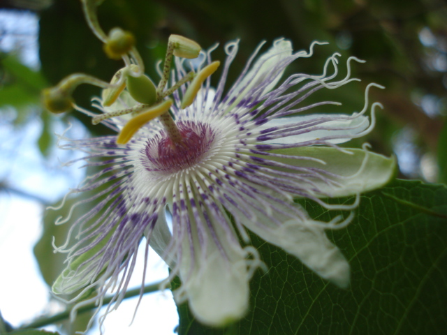 Pasiflora in Morocco Incarn12
