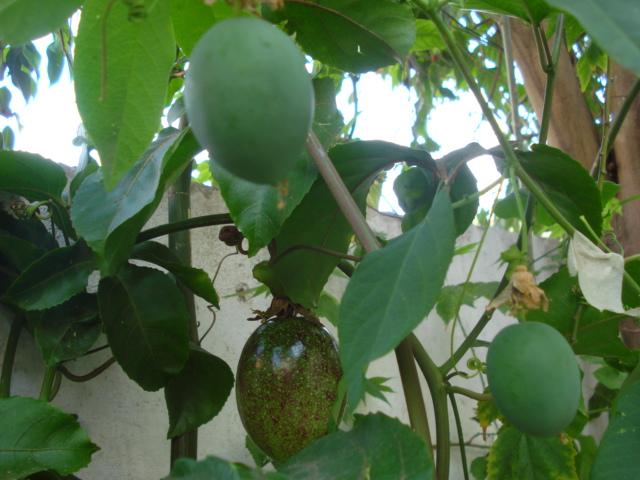 Pasiflora in Morocco Incarn13