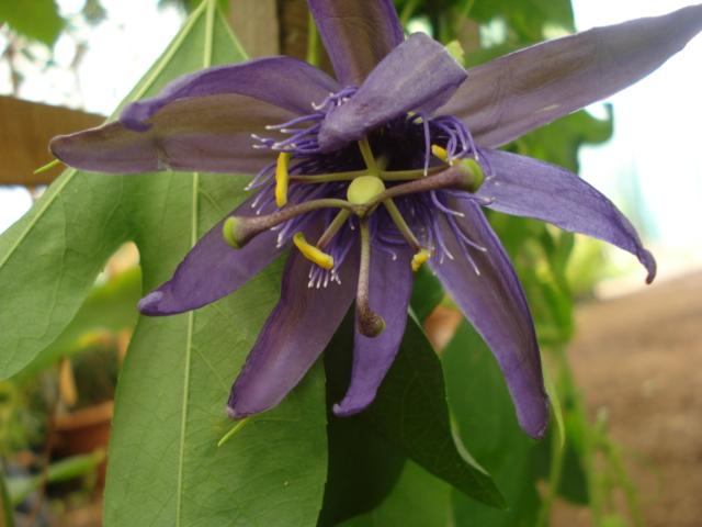 Pasiflora in Morocco Incens10